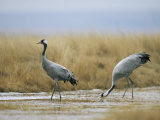 Pair of Common Cranes Walking Through a Wet Patch of Grassland
