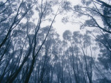 Buy A Mountain Ash Forest Canopy Shrouded in a Mist Cloud from a Storm at AllPosters.com