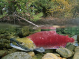 A Sockeye Salmon Spawns in the Shallow Water of the Adams River