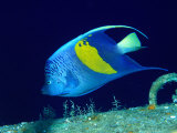 Arabian Angelfish (Pomacanthus Maculosus), Red Sea and Arabian Sea, Egypt