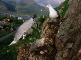 Gulls Nesting in Bird Colony on Small Mountain in the Centre of Vesteralen Town, Nordland, Norway