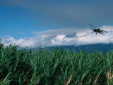 The Sugar Cane Crop, Kauai, Hawaii, USA