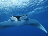 A Pair of Remoras Hitch a Ride on a Manta Ray, Manta Birostris