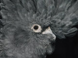 The Ruffled Feathers on the Head of a Red-Tailed Black Cockatoo