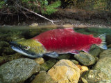 A Red Salmon Fish Swims Through Shallow Water