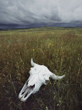 A Lone Bison Skull Nestled in the Grasses of Custer State Park