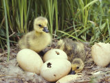 Canada Goslings and Eggs