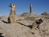 Two Adult Meerkats (Suricata Suricatta) Stand on a Mound
