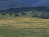 Scenic View of a Field of Wildflowers and Oak Trees in Cuyama Valley