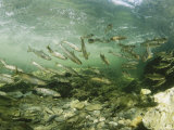 Wild Atlantic Salmon Make Their Way Upstream Through Clear Waters