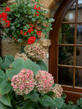 Geraniums and Hydrangea by Doorway, Chateau de Cercy, Burgundy, France