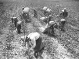 Mexican Cotton Pickers