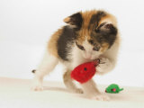 Multicolored Kitten Playing with Toy