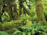 Moss Covered Trees in the Hoh Rainforest, Olympic National Park, Washington, USA