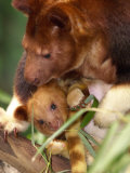 A Baby Goodfellow's Tree Kangaroo Peeks from its Mother's Pouch at the Cleveland Metroparks Zoo