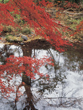 Buy Bright Red Fall Leaves with Reflection in Water at AllPosters.com
