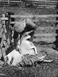 Sheep Shearing in Scotland at the End of May