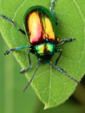 A Dogbane Leaf Beetle, Chryschus Cobaltinus, Eating Dogbane Leaf