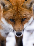 Red Fox, Portrait of Face, Lancashire, UK