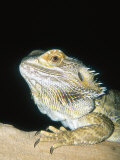 Bearded Dragon, Aquarium Animal