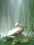 Brown Pelican, Adult, Rehab Zoo Animal