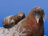 An Atlantic Walrus Pup Rests on its Mother