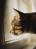 A Profile of a Tabby Cat
