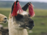 Close View of a Llama with Tassels in its Ears