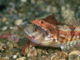 A Reef Lizardfish Swallows Another Fish Whole