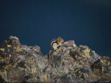 A Golden-Mantled Ground Squirrel Sits on a Rock