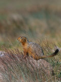 An Arctic Ground Squirrel in Fall Vegetation