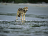 Gray Wolf on Shore of Vargas Island