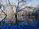 Blue Gum Trees and Reflections in Wetland