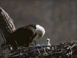 An American Bald Eagle and Chick
