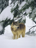A Gray Wolf Stands under a Snow-Laden Pine Tree Limb