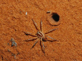 Spider at Burrow Entrance on Sand Dune