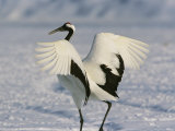 A Japanese or Red Crowned Crane Spreads its Wings in a Dance Display