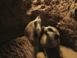 Two Meerkats Look out from the Security of Their Underground Burrow