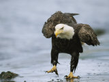 An American Bald Eagle Walks Intently Toward its Prey