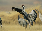 Common Cranes on a Grassland