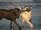 Two Labrador Retrievers Play with a Stick on a Beach