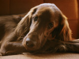 Close View of an Irish Setter