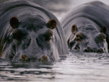 Two Hippopotamuses with Their Faces Half Submerged in the Water