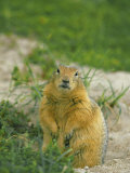 Arctic Ground Squirrel by its Burrow