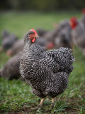 A Barred Plymouth Rock Chicken Free Ranging at a Farm in Kansas