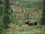 An Alaskan Moose Forages in a Field