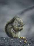 An American Red Squirrel (Tamiasciurus Hudsonicus) Eats the Seeds from a Spruce Cone