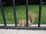 A Gray Squirrel Keeps Alert from its Secure Spot on the Other Side of an Iron Fence
