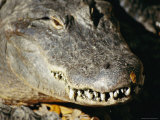 A Close View of the Overlapping Teeth and Jaws of an American Alligator