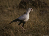 A Secretary Bird Hunts for a Meal